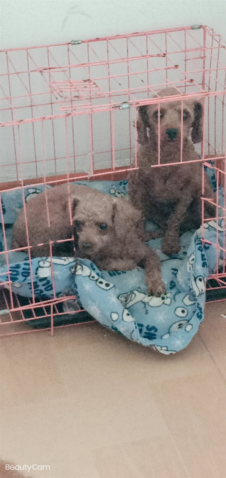 泰迪狗免费送