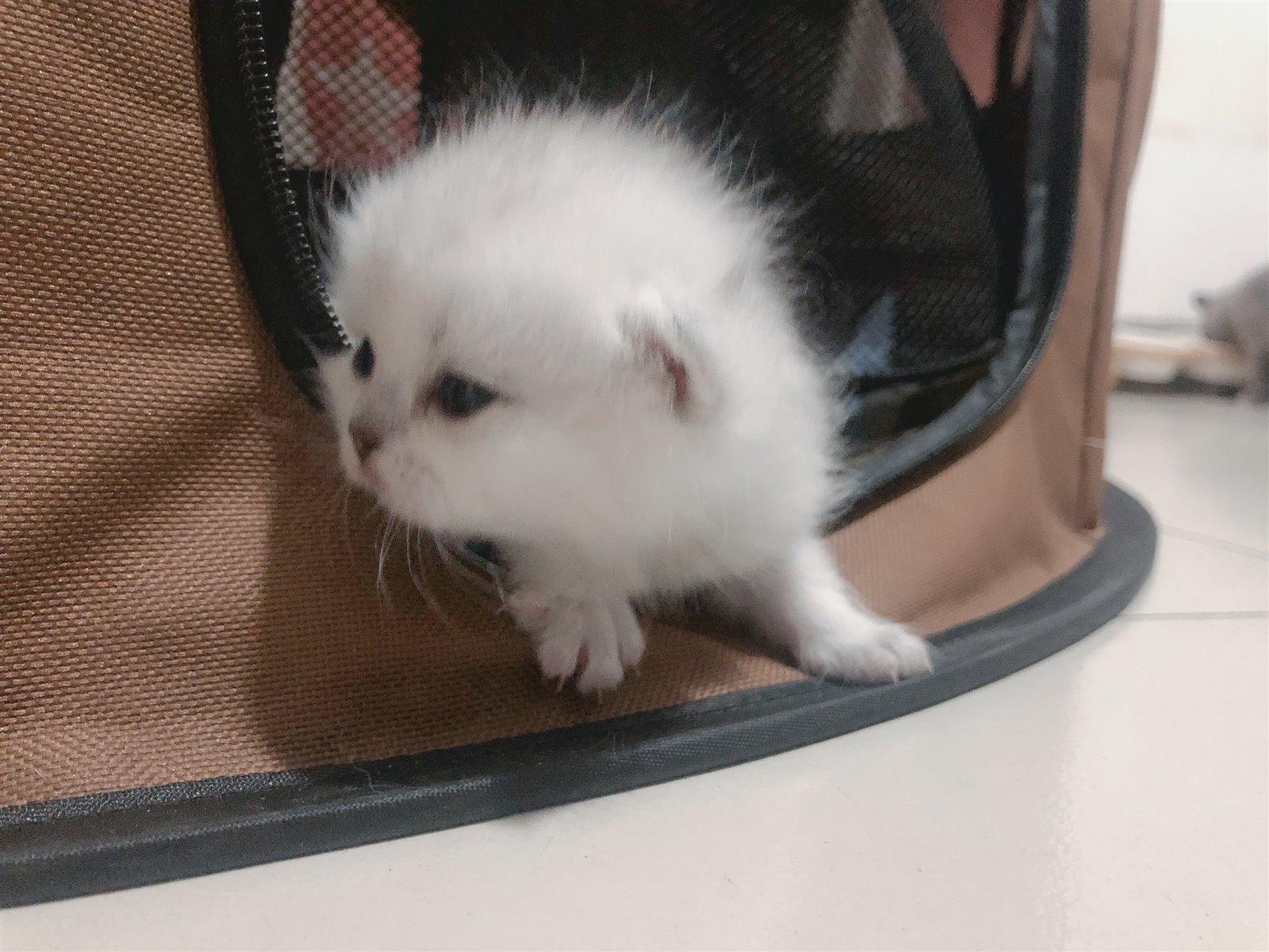 自家养的小猫咪出售啦