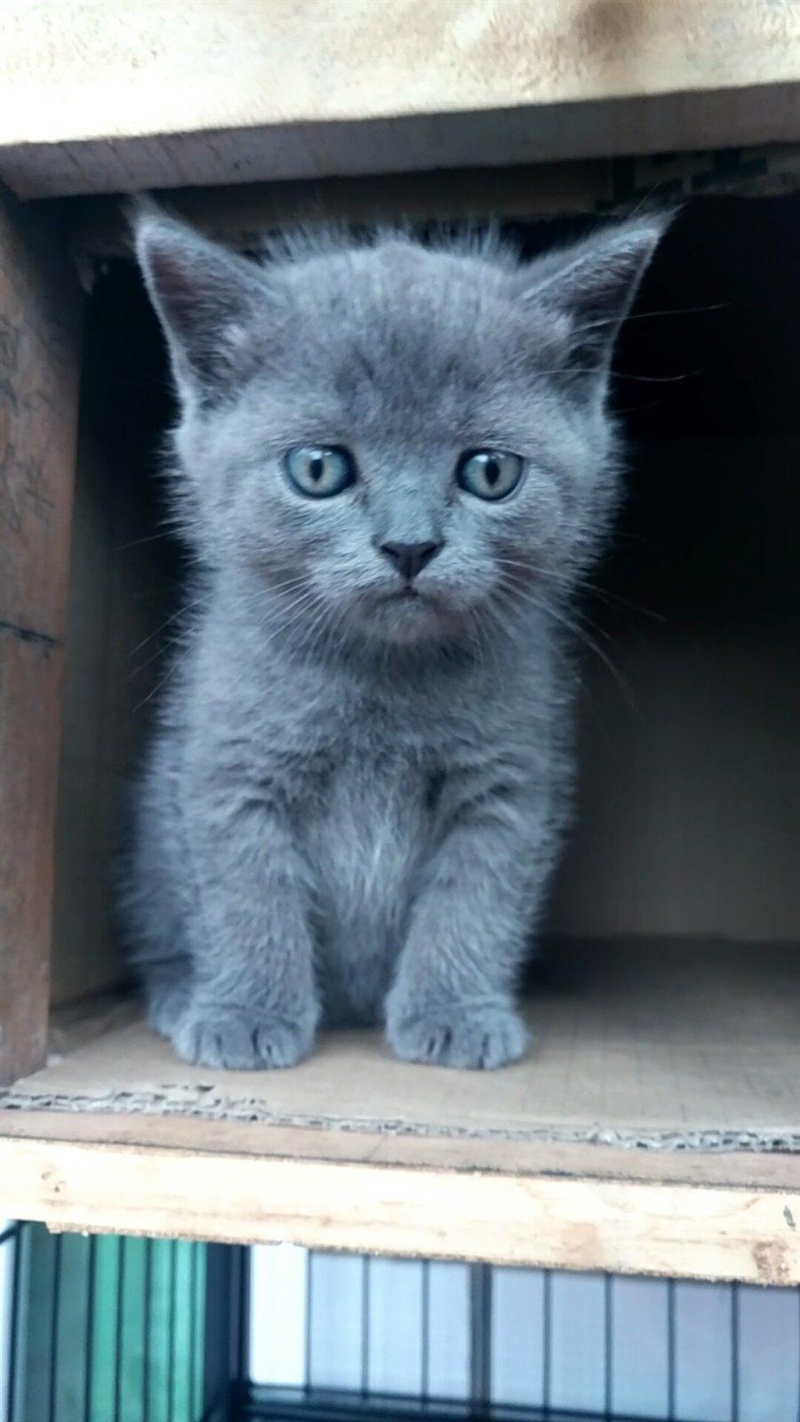 出一只英短蓝猫小母猫,会用猫砂吃猫粮