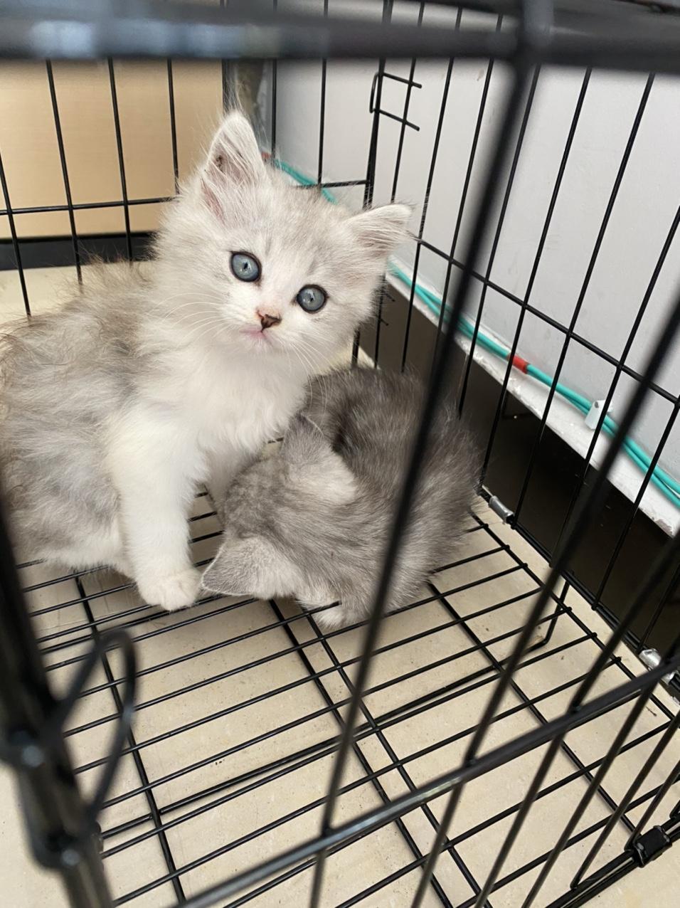 银渐层美短小猫,自己养的一只公的一只母的