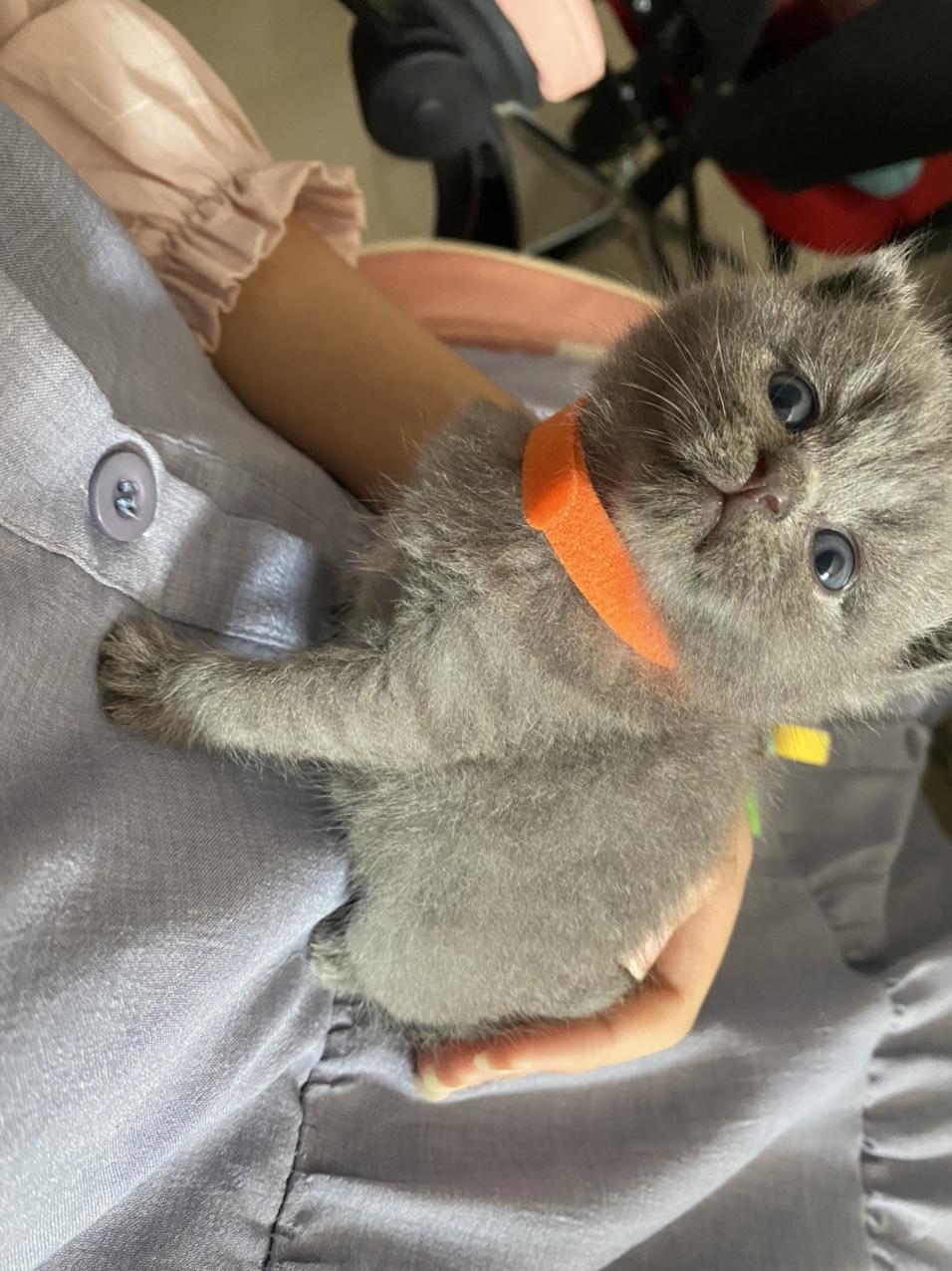 英短蓝猫,自己养的还有三公三母