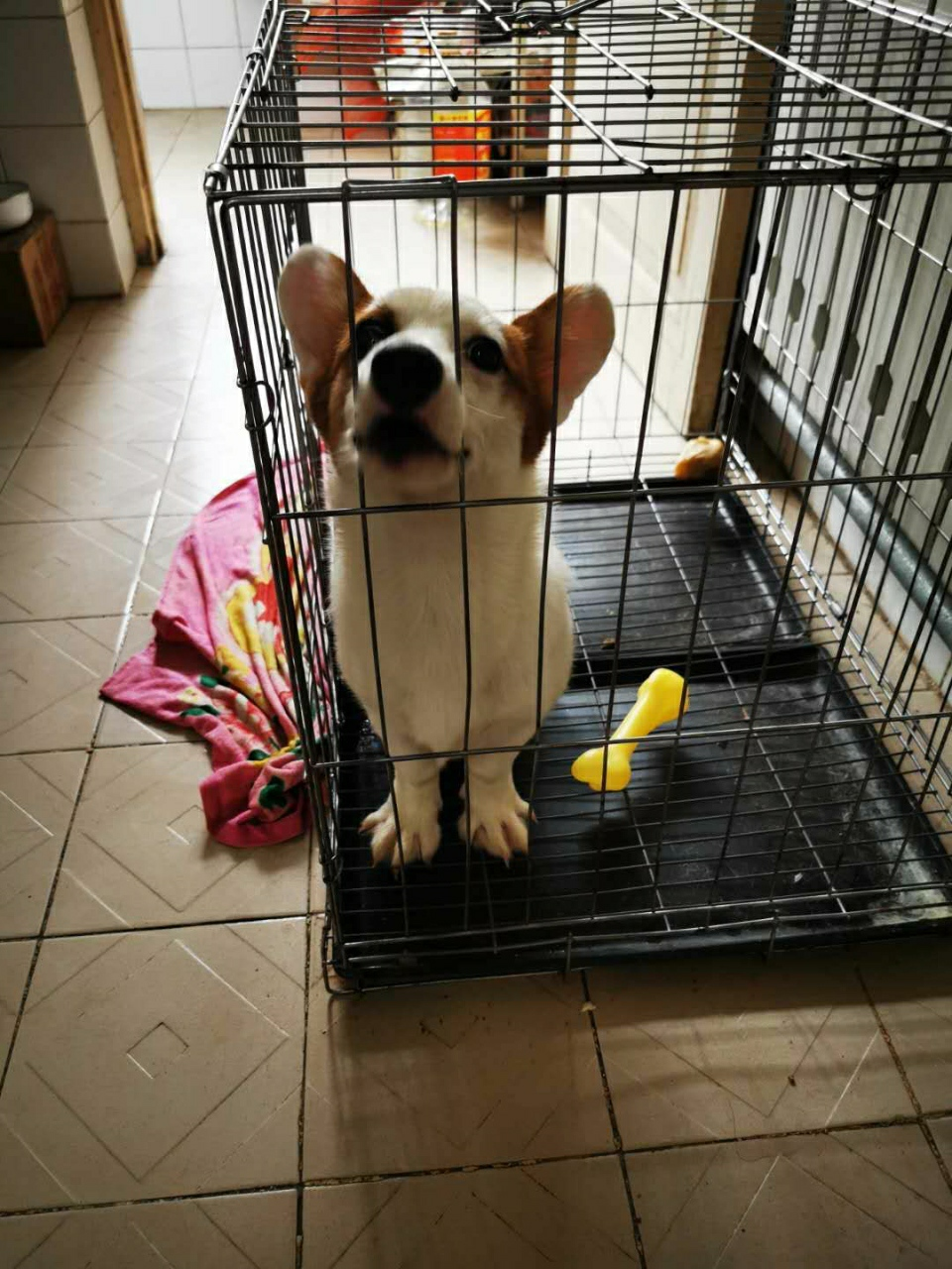 5個月純種柯基公狗