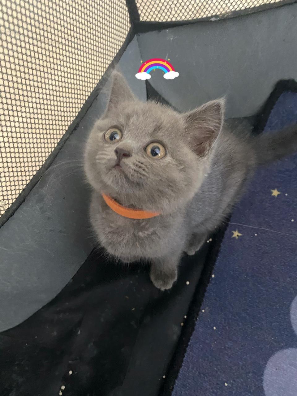 英短血统蓝猫自家猫猫生的,猫爸妈性格温顺