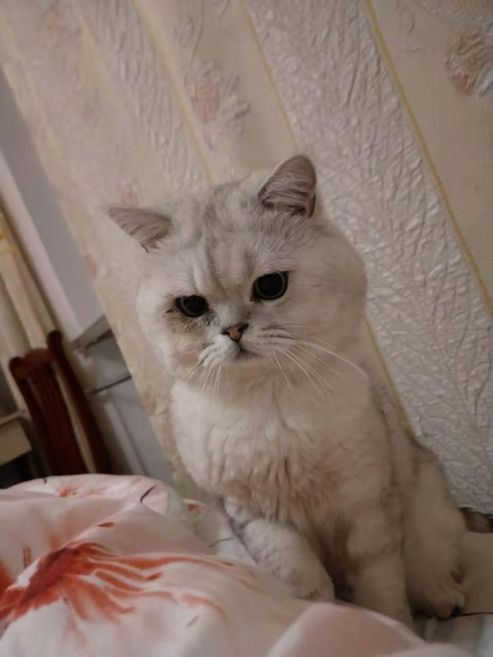 寵物貓出售,性格溫順不撓人