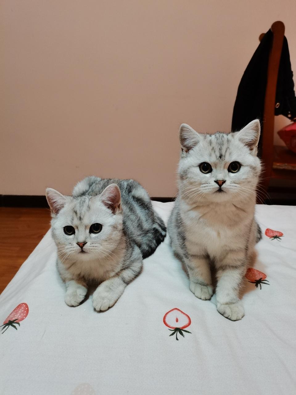 寵物貓咪出售,性格好