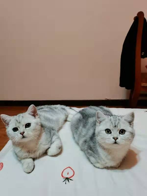 自家繁育小猫咪出售