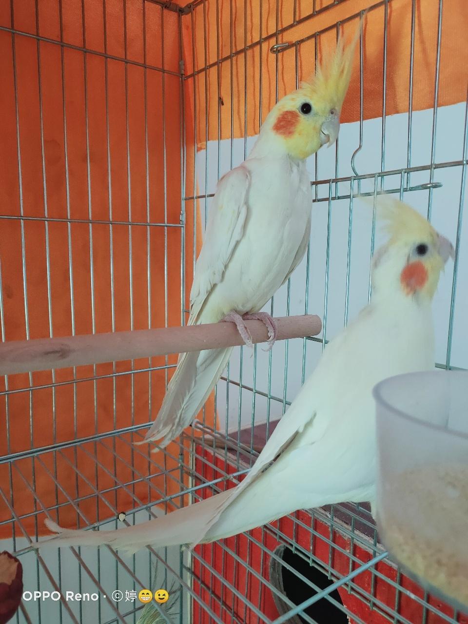 鸟,玄凤鹦鹉