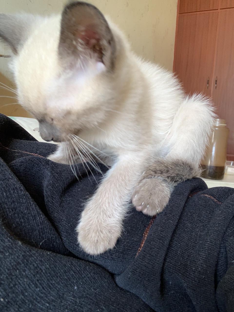 出售两个月大暹罗猫,两公两母,另售两岁一公一母