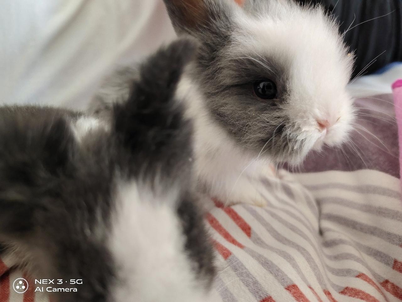道奇盖脸猫猫兔