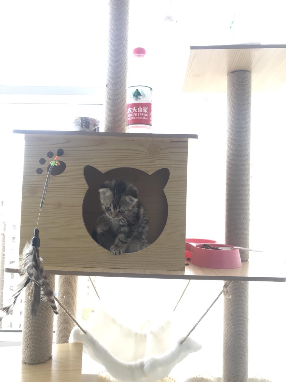 四個月美短棕虎斑出售,因本人嚴重過敏