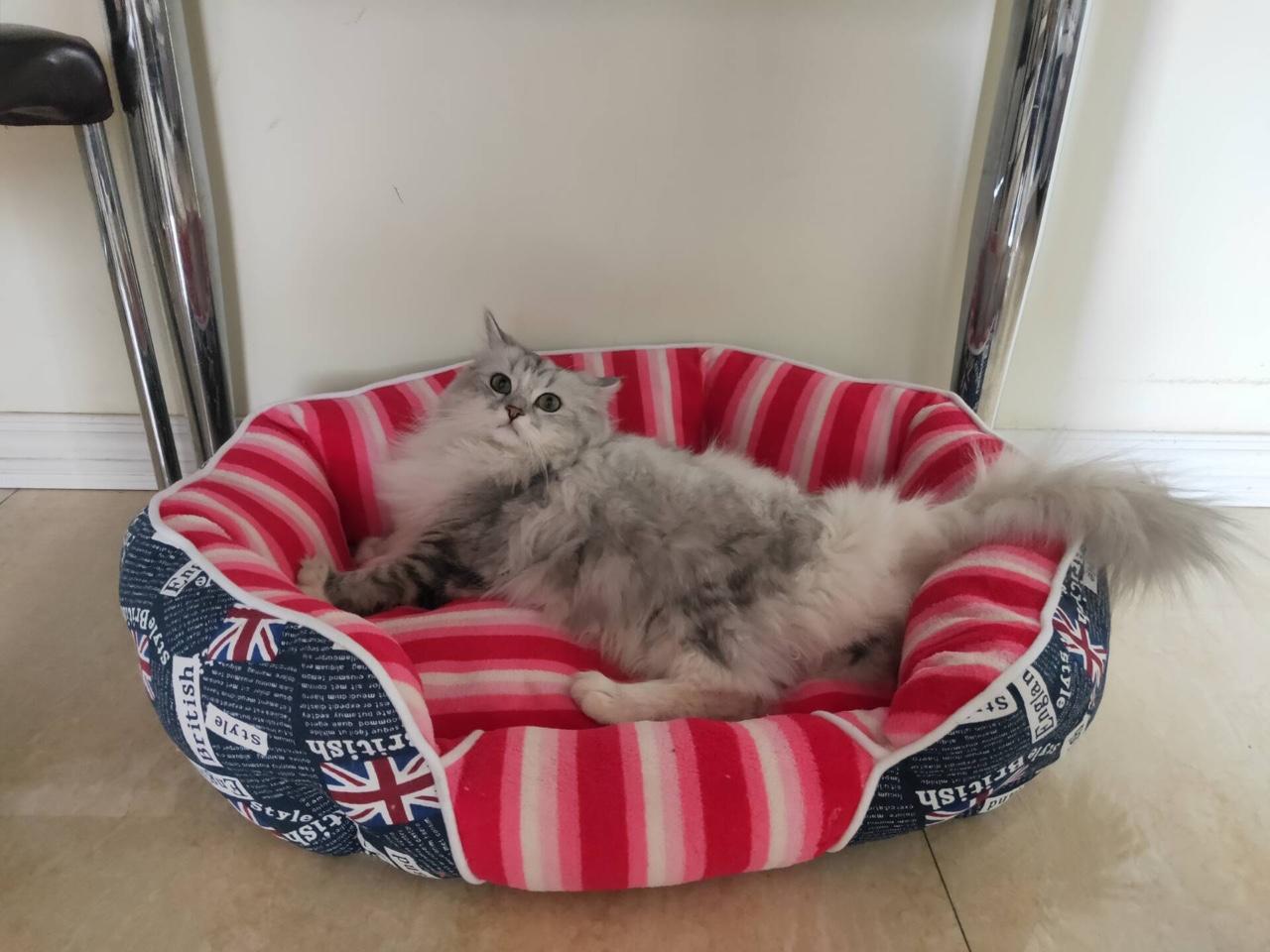 出售一只银渐层长毛猫