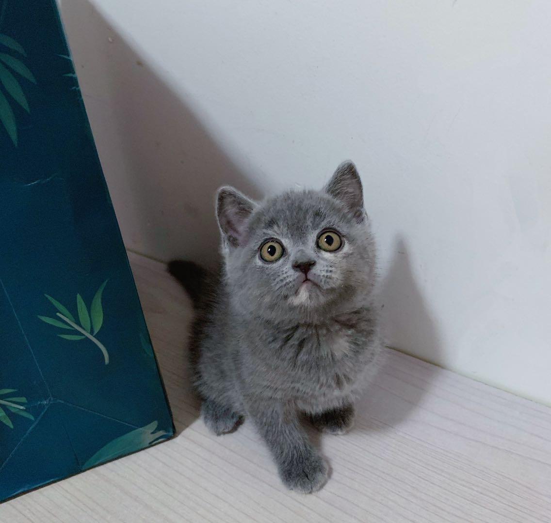 可爱的小蓝猫
