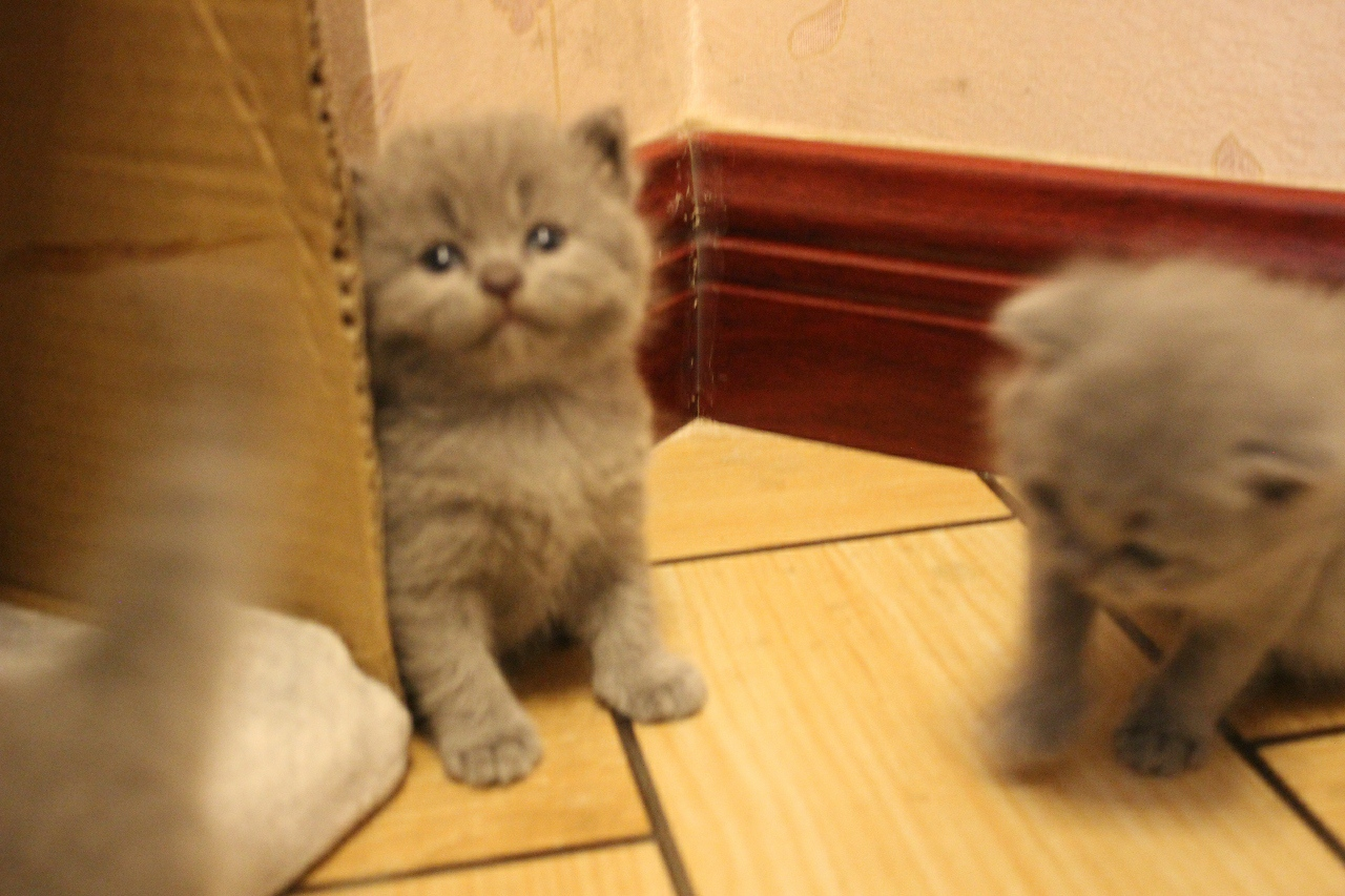 自家純種英短藍貓幼貓2月低價出售,可看貓