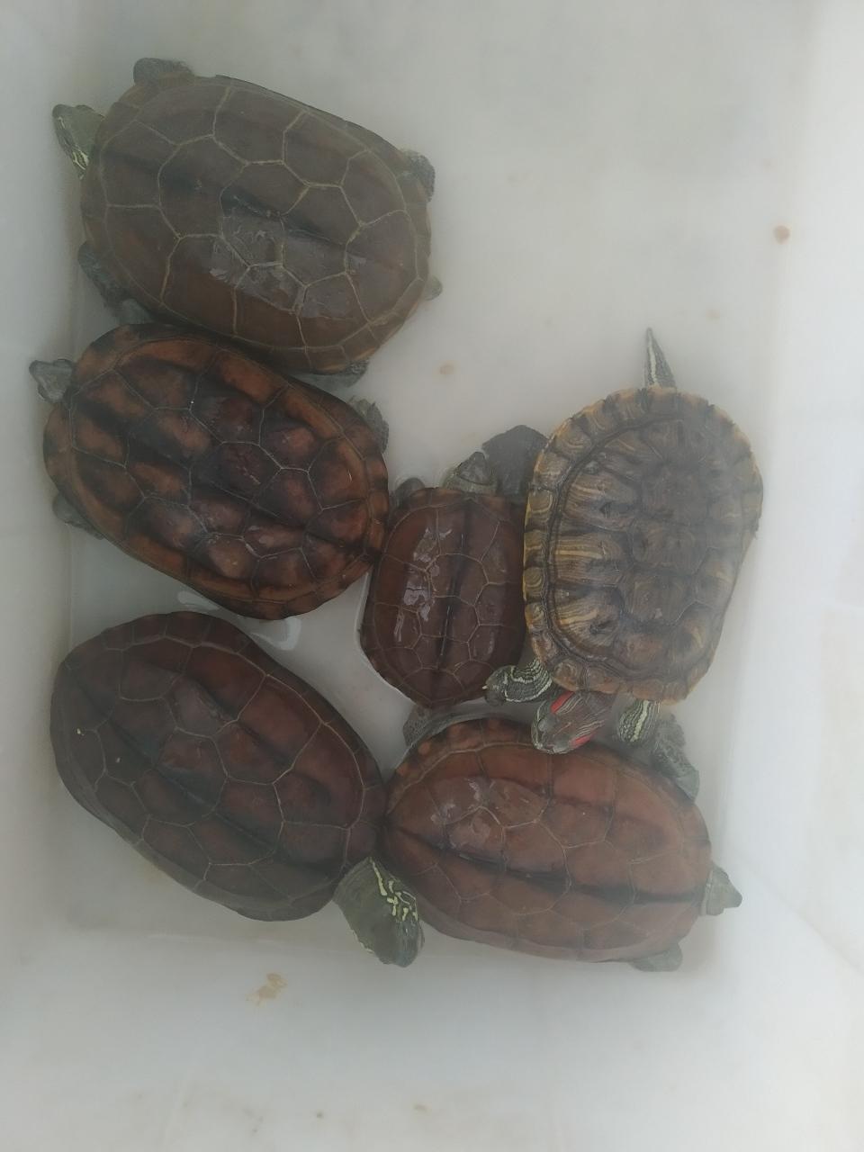 8年寵物草龜出售