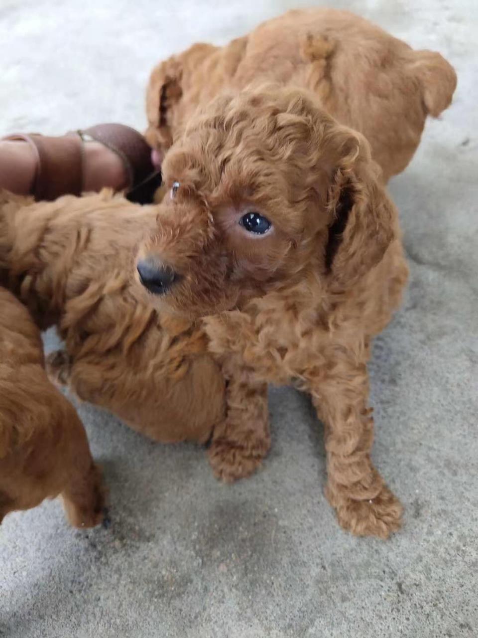 泰迪小狗出售