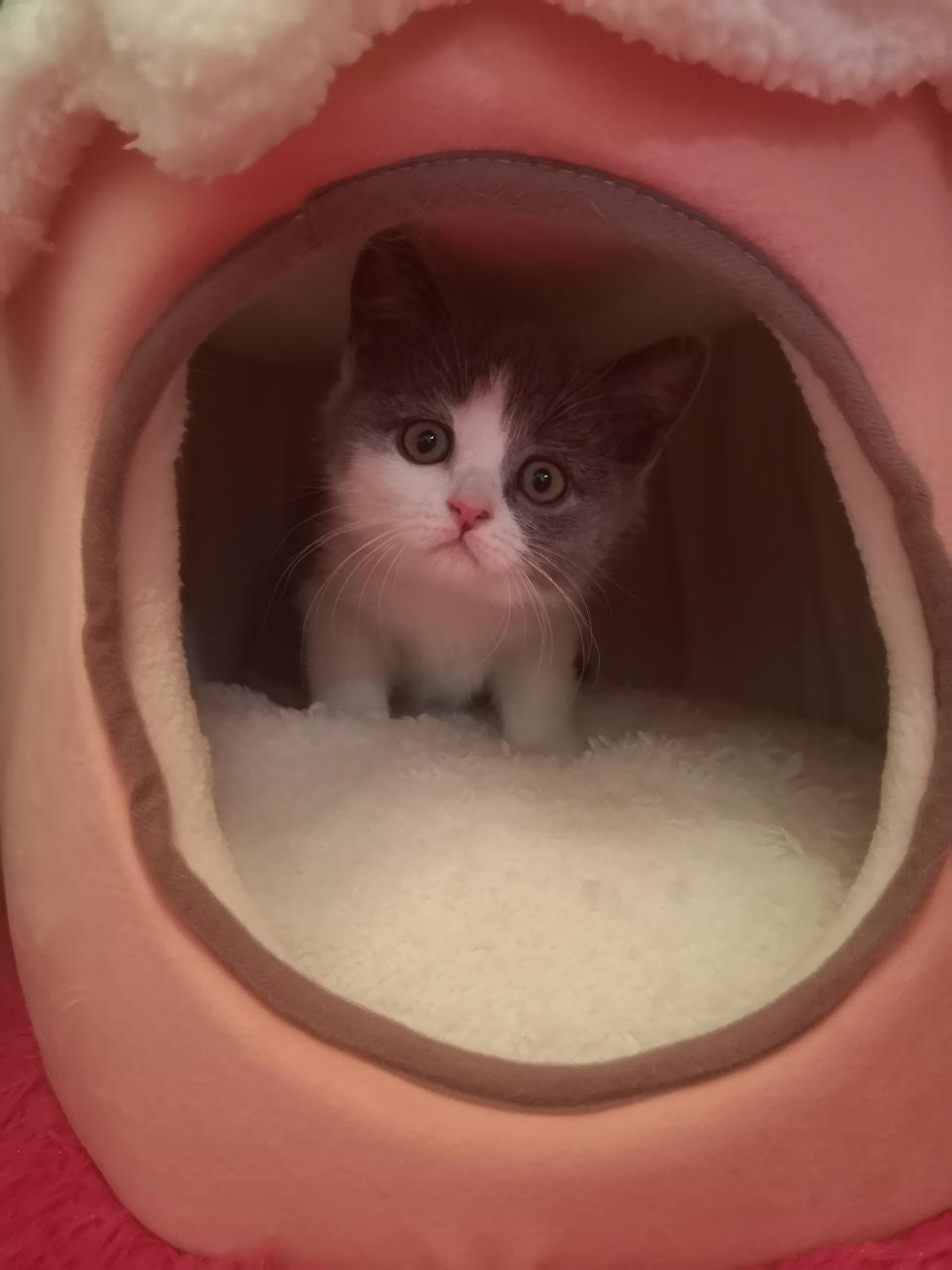 自家小猫找爱猫主人收养