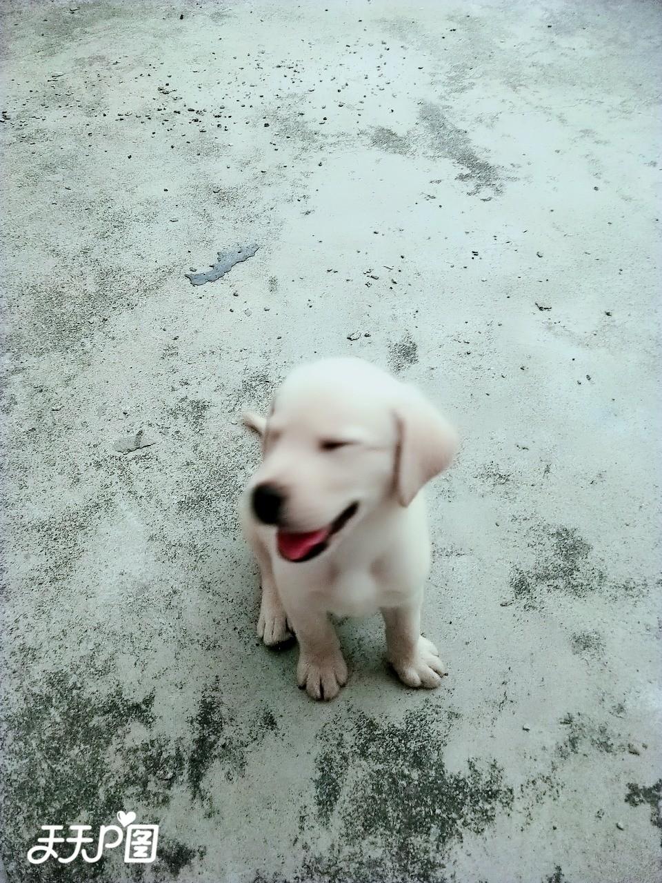 对外出售拉布拉多犬