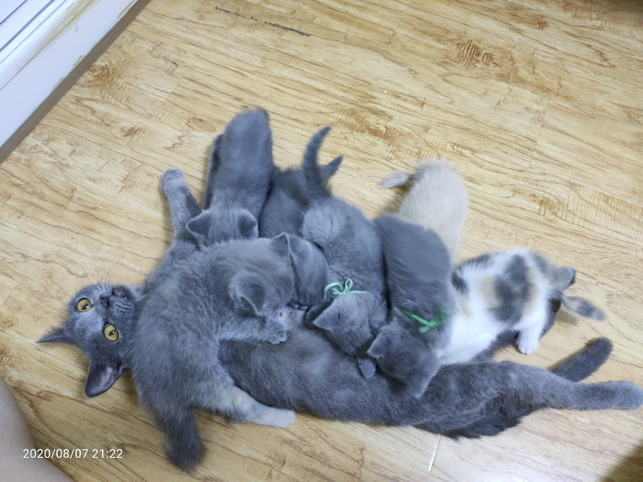 小蓝猫有偿领养
