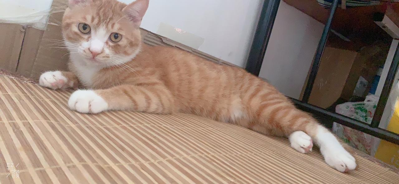 求收养,家养猫咪八个月疫苗已做