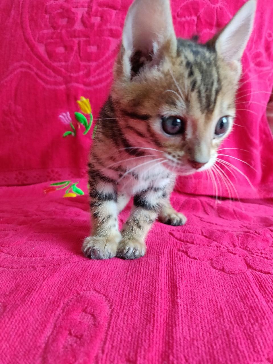 出售孟加拉豹猫