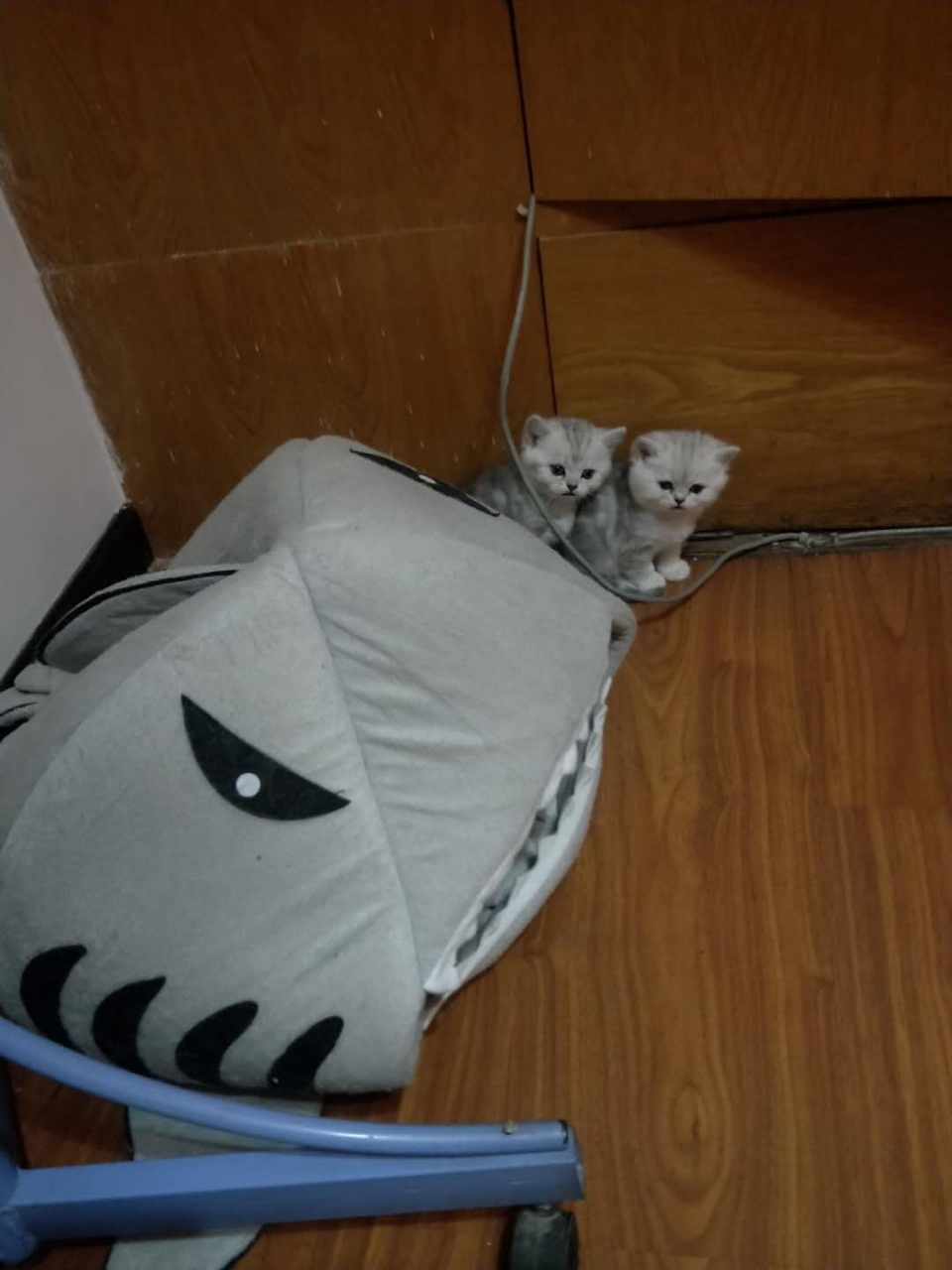 自家繁育起司小猫咪出售啦