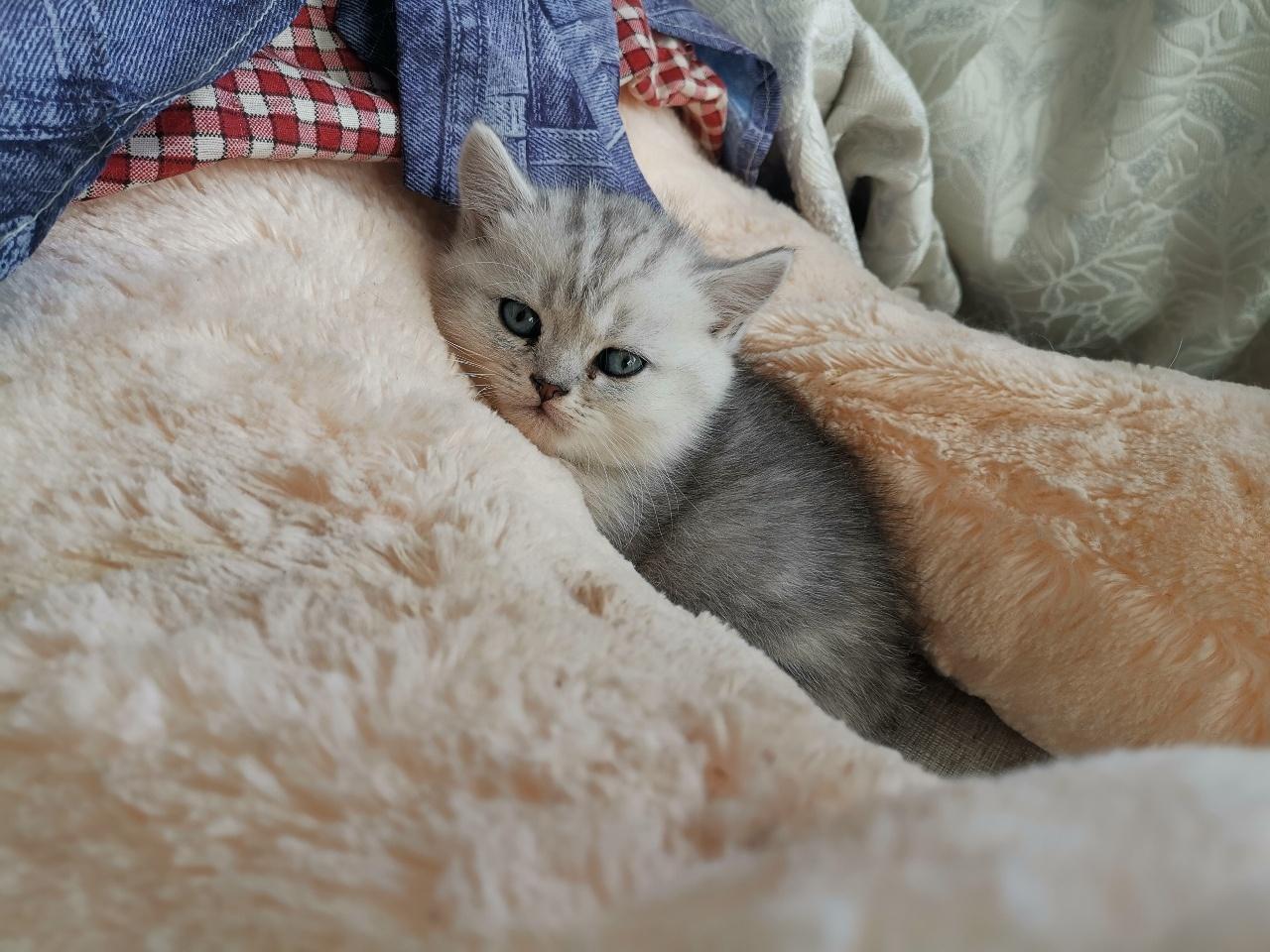 精品自家繁育美短起司猫出售
