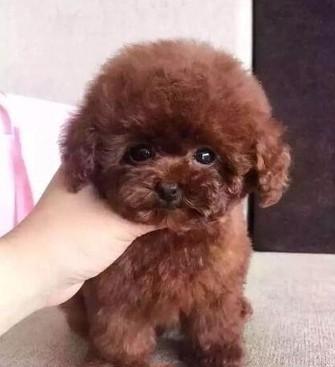 三個月泰迪犬