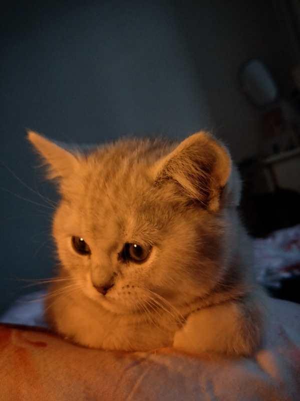出售美短,虎斑,起司小猫