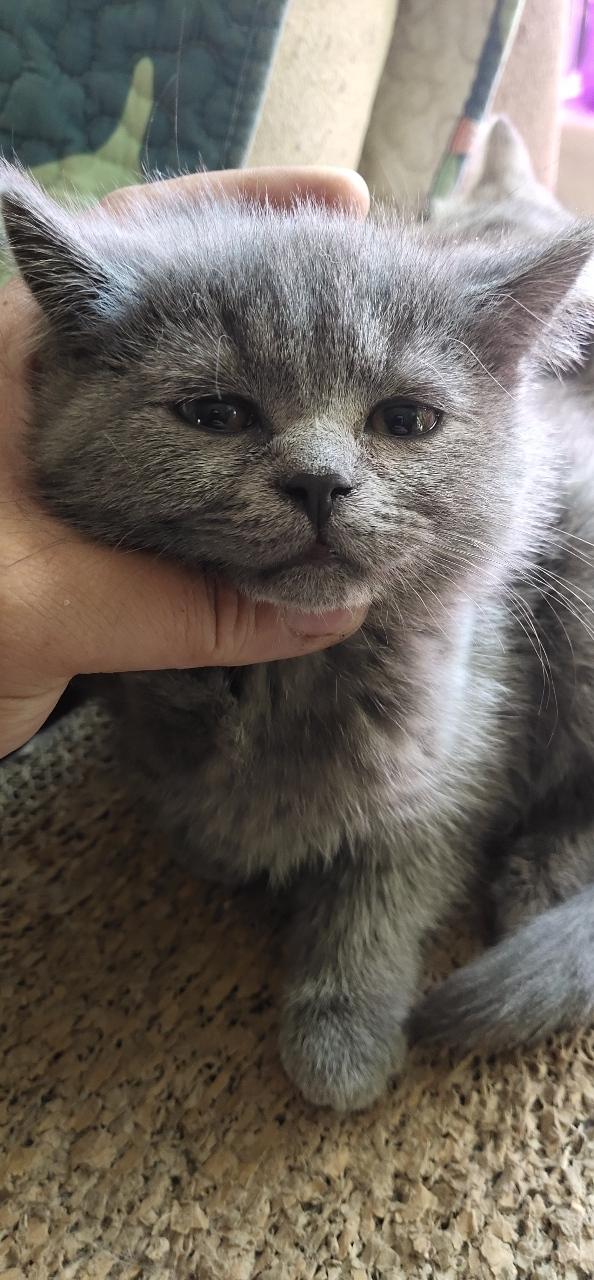 自家繁育,小藍貓妹妹