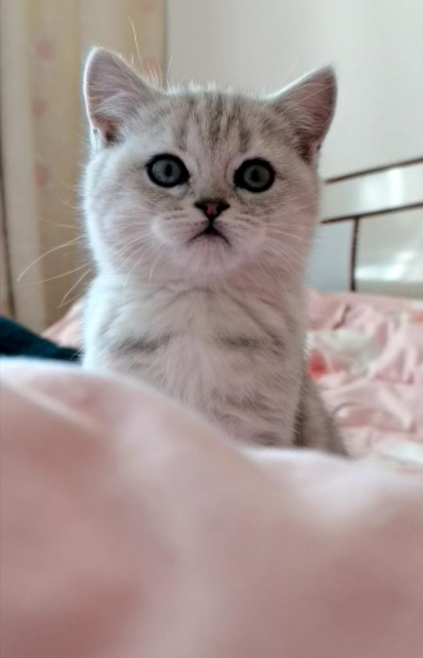 自家繁育美短小貓咪