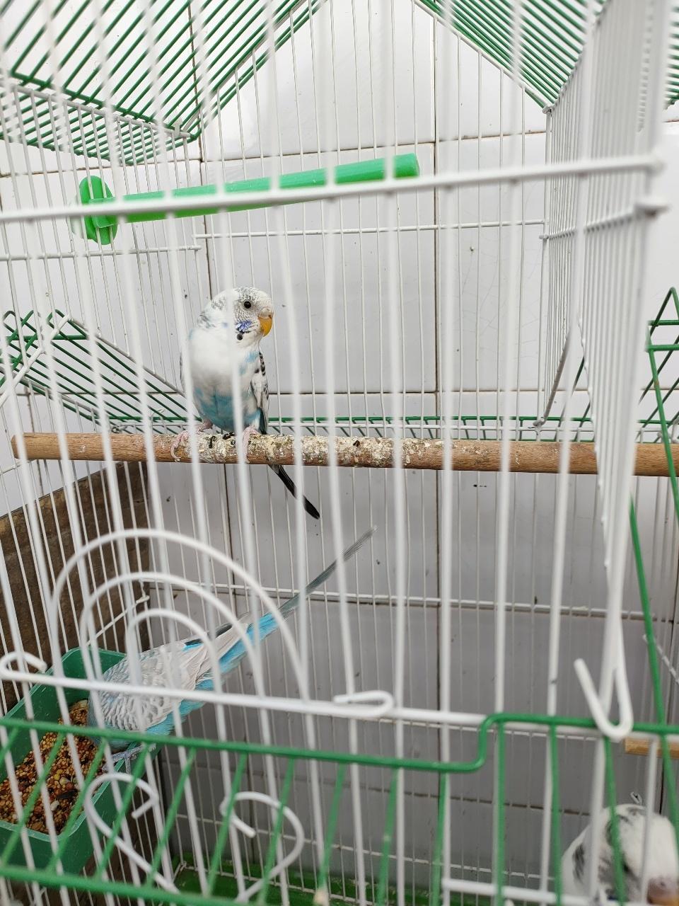 虎皮鹦鹉带笼子鸟粮出售