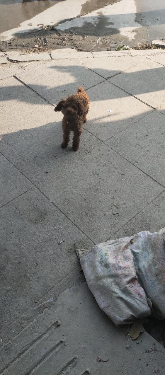泰迪小母狗5个月疫苗齐全低价出售600元