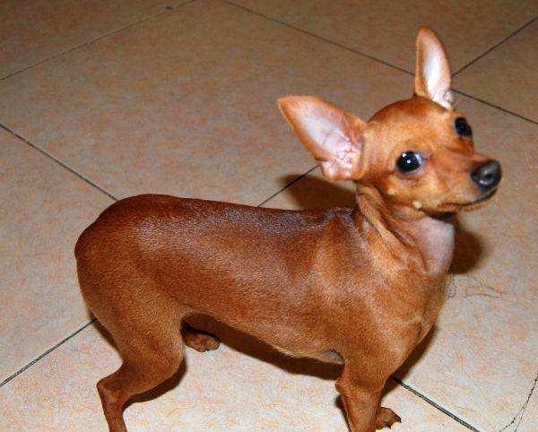自家養的小鹿犬出售