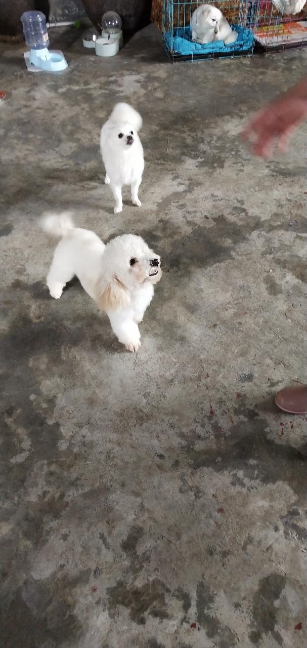 貴賓犬,博美犬