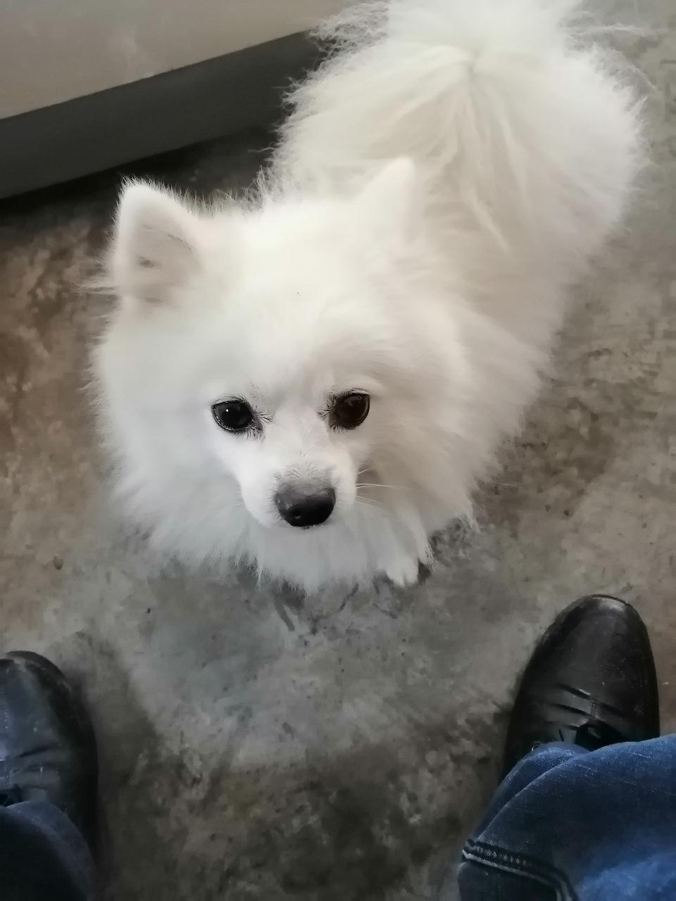 纯种博美犬公有需要配种的吗