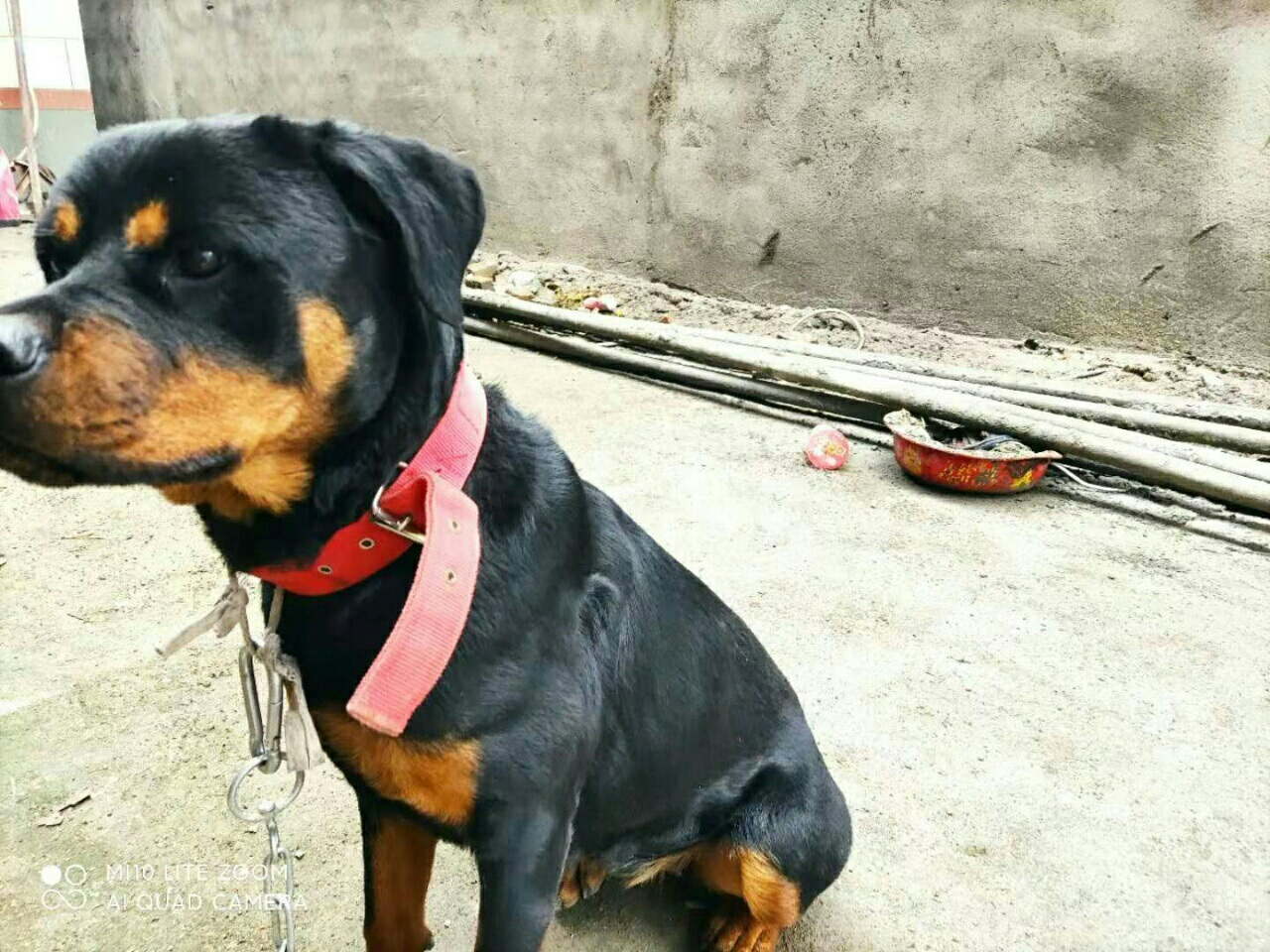 德系羅威納大頭護衛犬