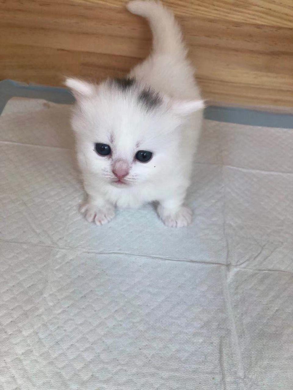 英短矮腳貓出售