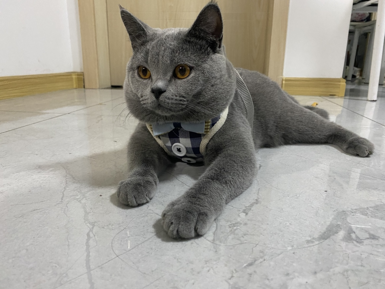 纯种蓝猫借配