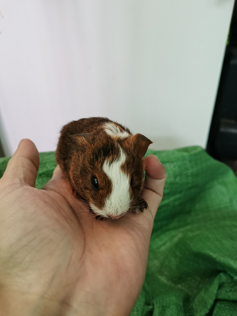 荷兰鼠 荷兰鼠 天竺鼠 荷兰猪活物