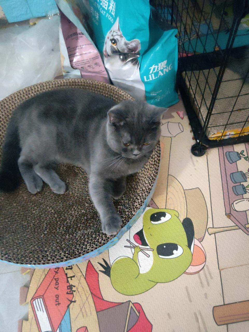 蓝猫,家里新来两条狗,养不了