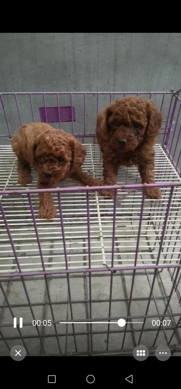 泰迪犬便宜出售