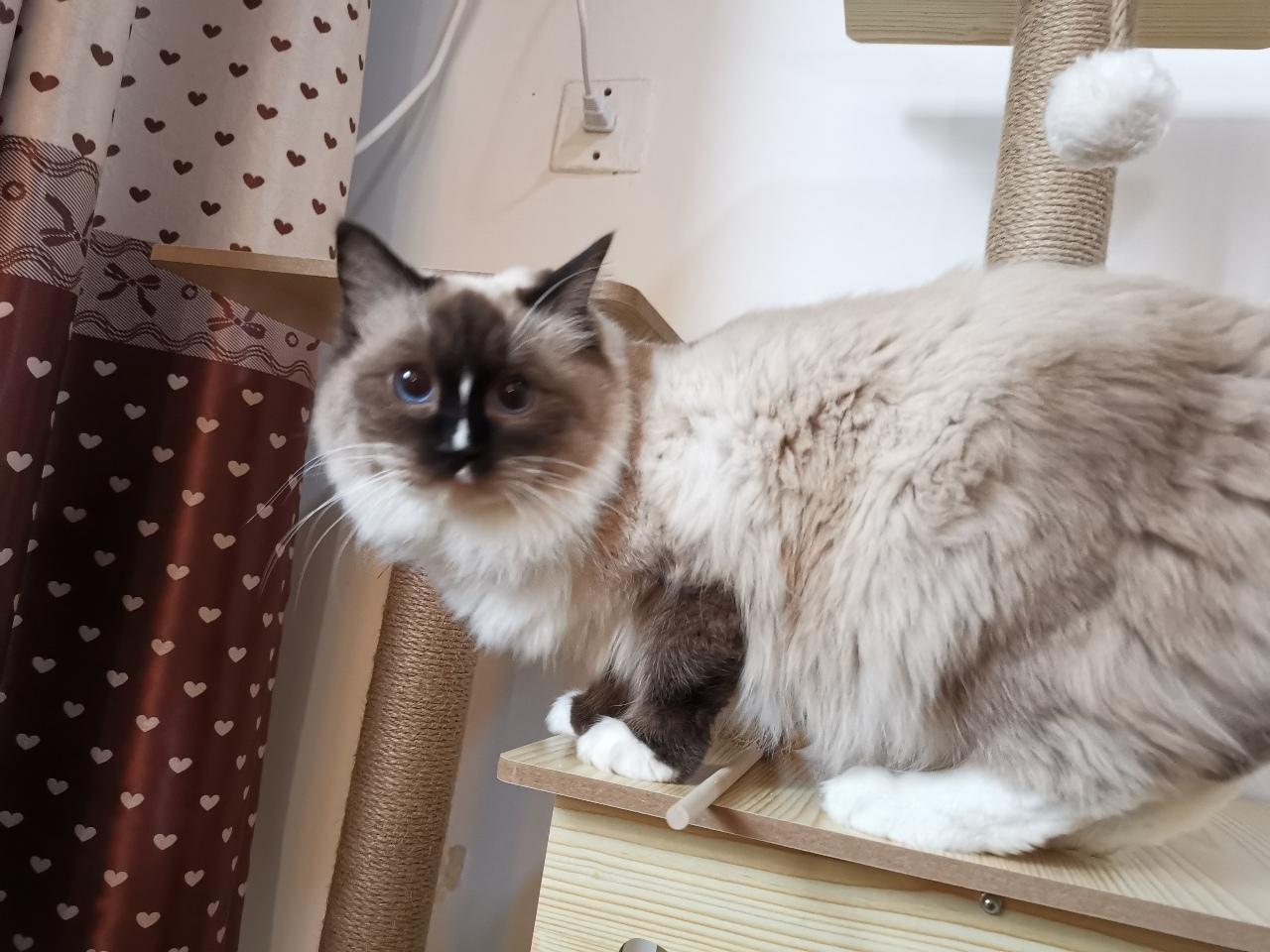 布偶猫  重点色布偶猫