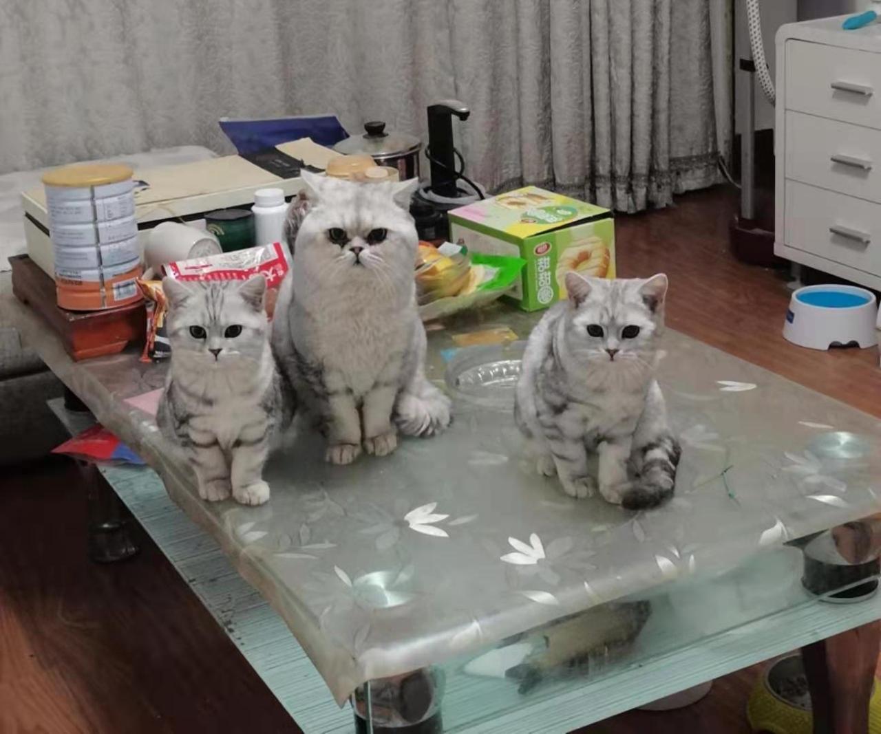 自家繁育美短小猫咪