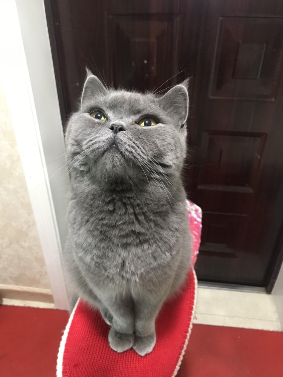 出售英短蓝猫