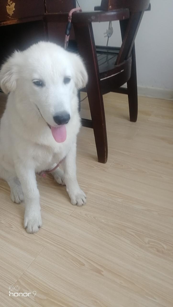 寻找白色金毛犬