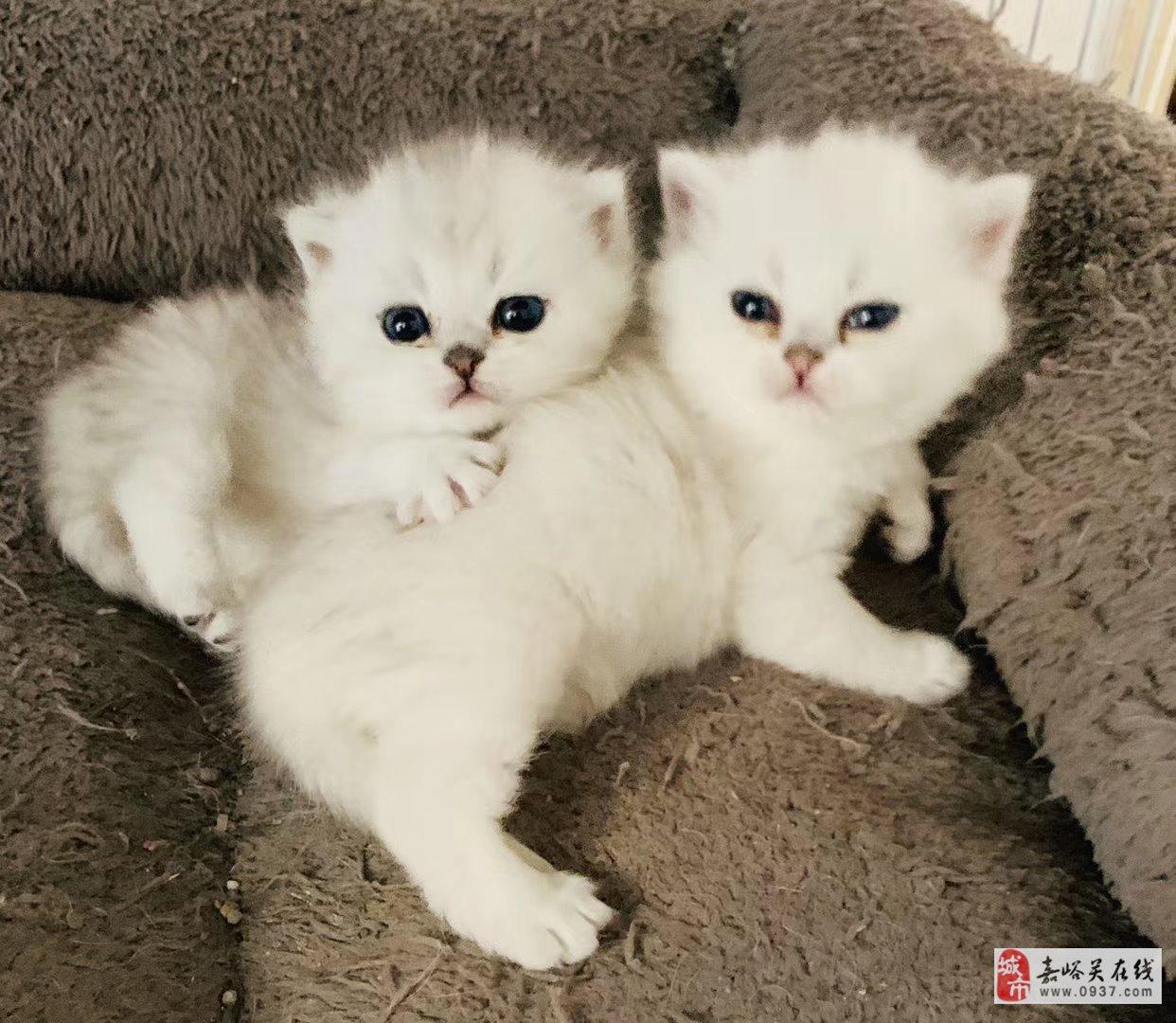 银渐层、金渐层,蓝白小奶猫