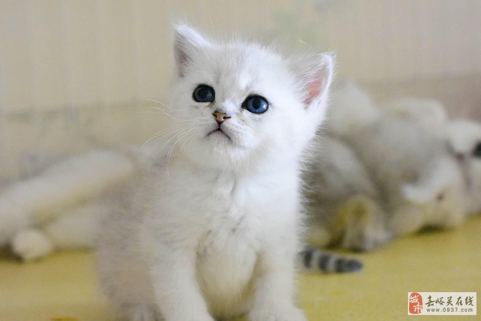 藍貓矮腳、藍白矮腳找新主人
