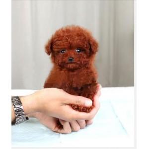 纯种泰迪、精品泰迪幼犬、保纯种健康、给宝宝们找新家