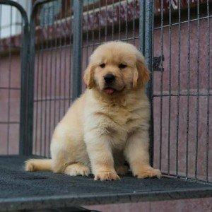 出售金毛犬幼犬包纯种健康可上门看狗签协议包