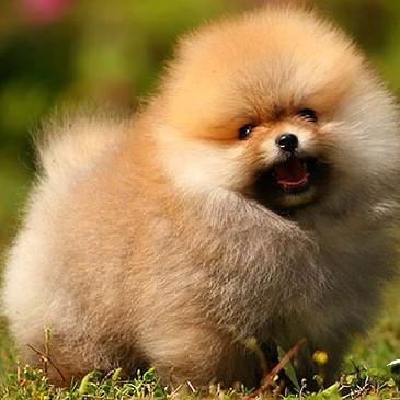 顶级爆毛纯种健康的哈多利版球体博美幼犬英系俊介博美